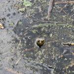 Frosch in der Wahnbachtallsperre
